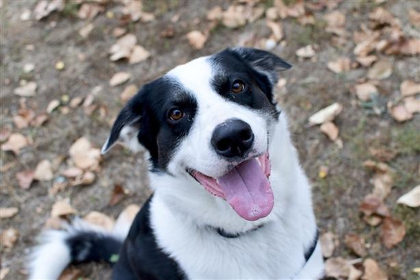Spot - Akbash Dog