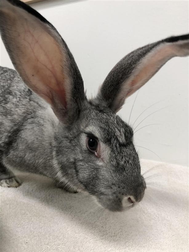 Susan - Flemish Giant Rabbit