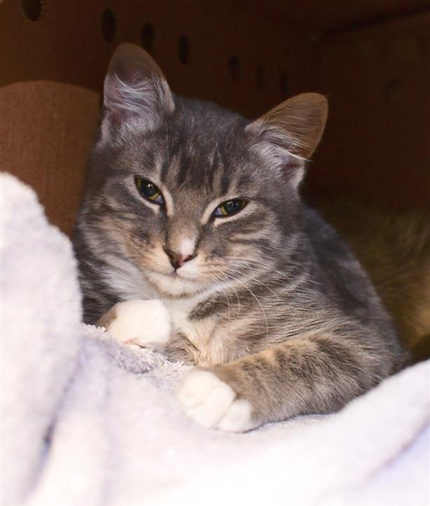 Grady - Domestic Short Hair Kitten
