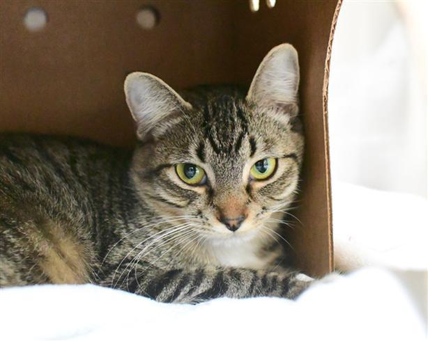 Prim - Domestic Short Hair Cat