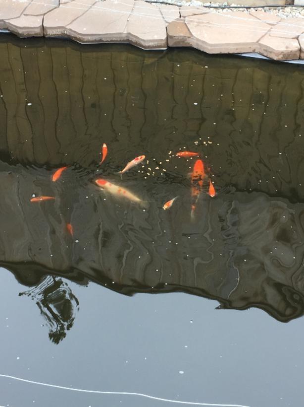 Two Pond Koi $25 adoption fee each (Goldfish as well)