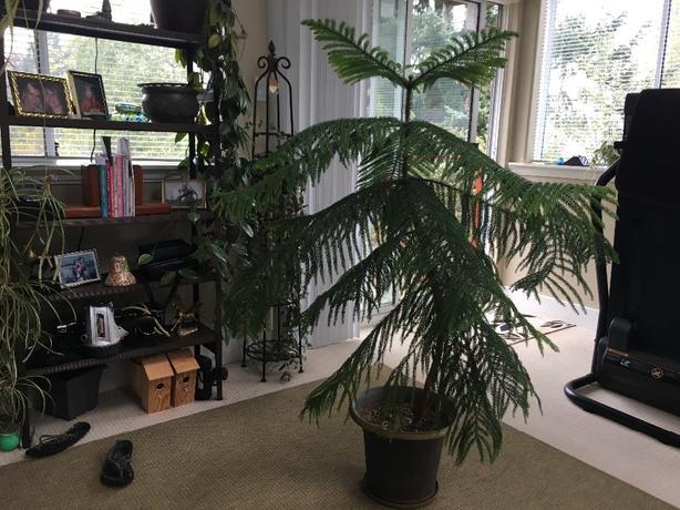 Norfolk Pine House Plant
