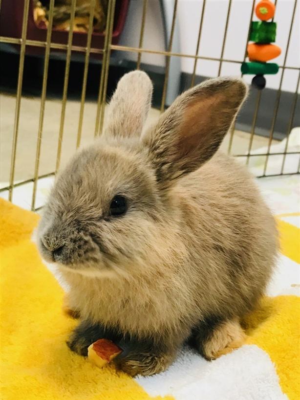 Tulip - Harlequin Rabbit