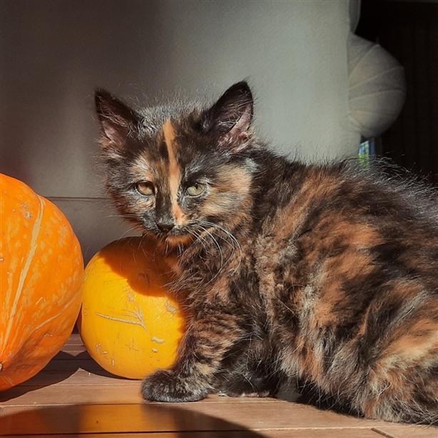 Twlya - Domestic Short Hair Kitten