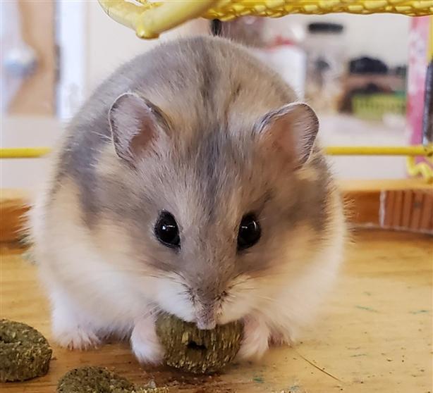Buddy - Hamster Small Animal