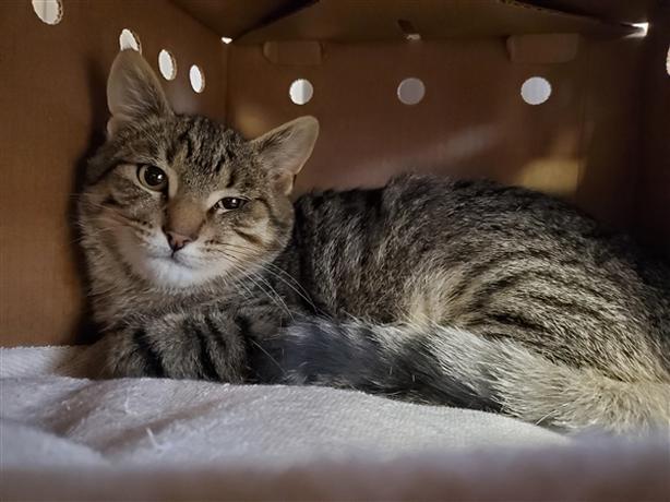 Gage - Domestic Short Hair Kitten