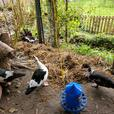 2 female muscovy ducks with house