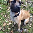 Cookie - Mastiff Dog