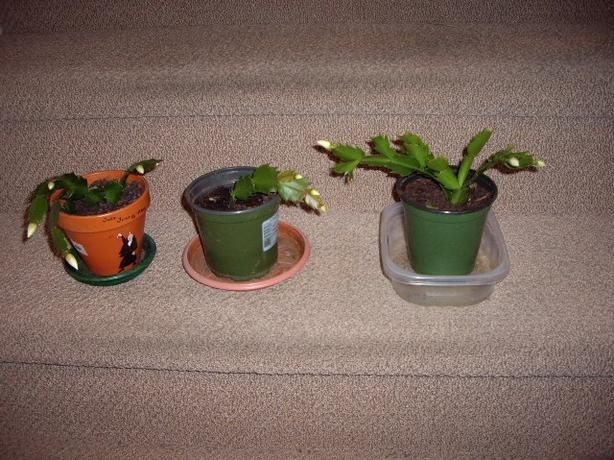 PLANTS-CHRISTMAS CACTUS IN BLOOM NOW
