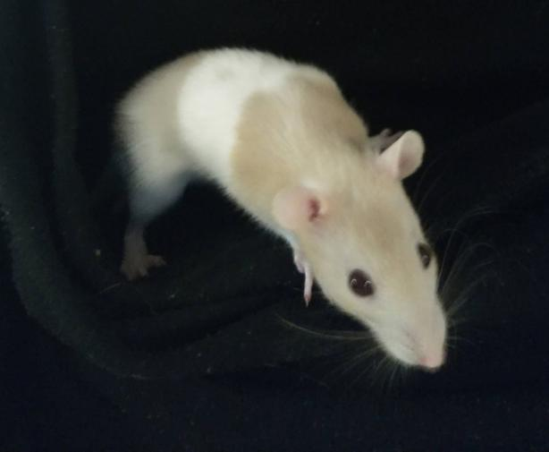 Male & Female Fancy Rats, hand-Tame