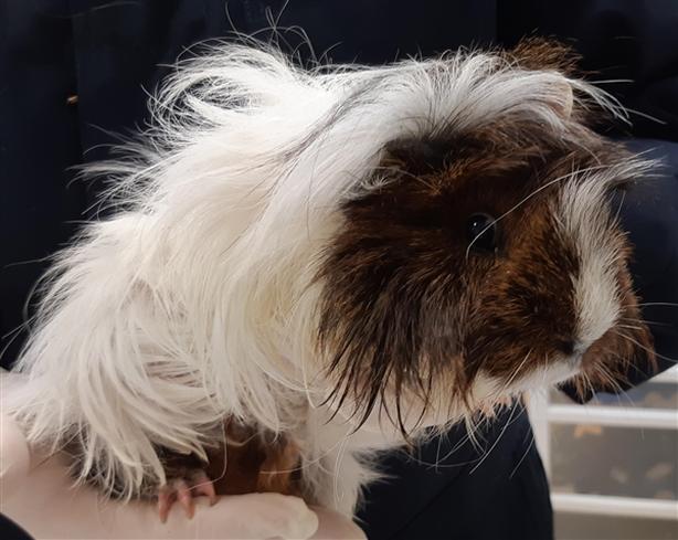 R14 Rick - Guinea Pig Small Animal