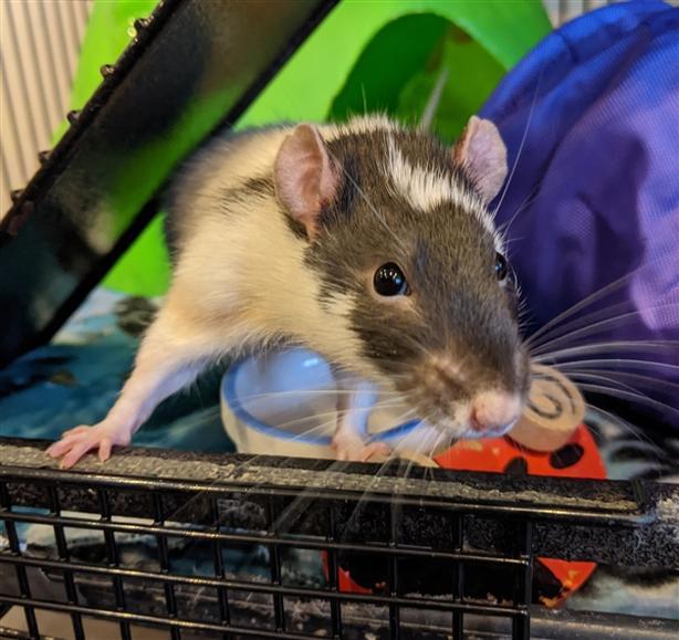 Bastian - Rat Small Animal