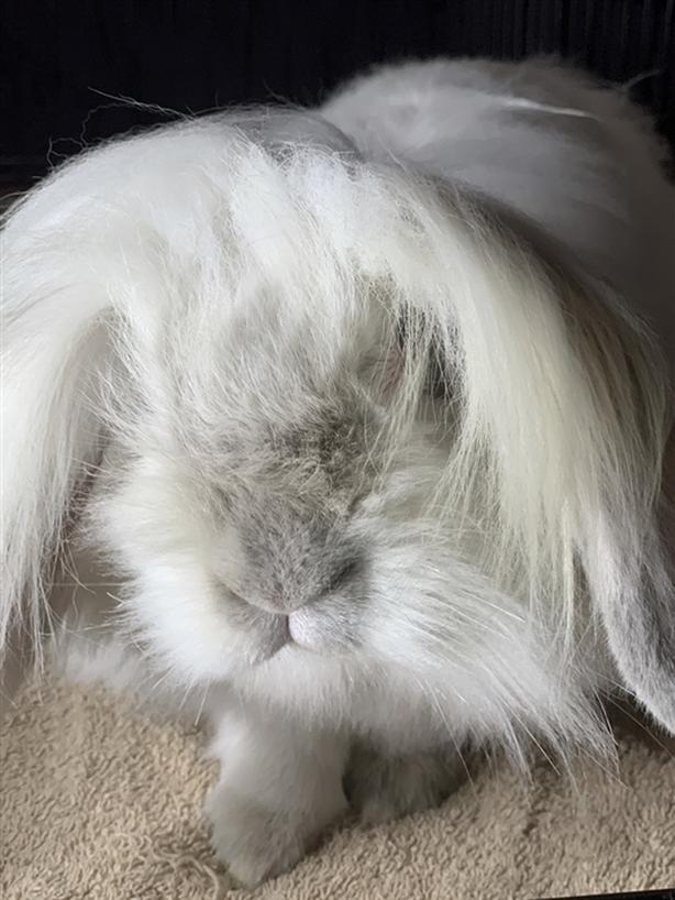 Willow - Angora Rabbit