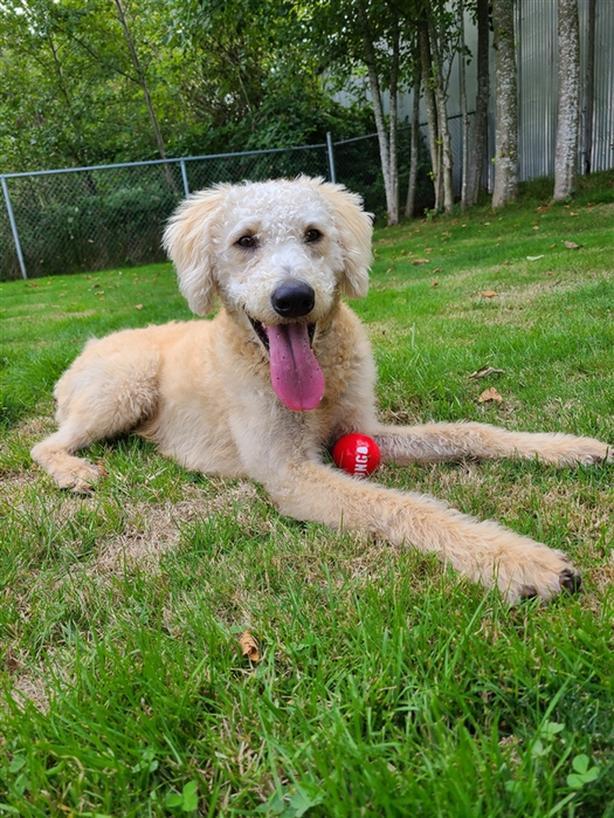 Teddy - Labradoodle Dog