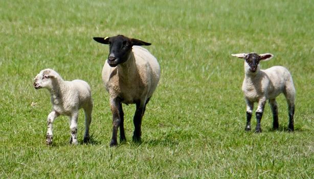 12 sheep and purebred ram