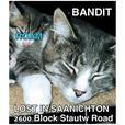 "ROAM ALERT. Lost cat in Saanichton ""Bandit"""
