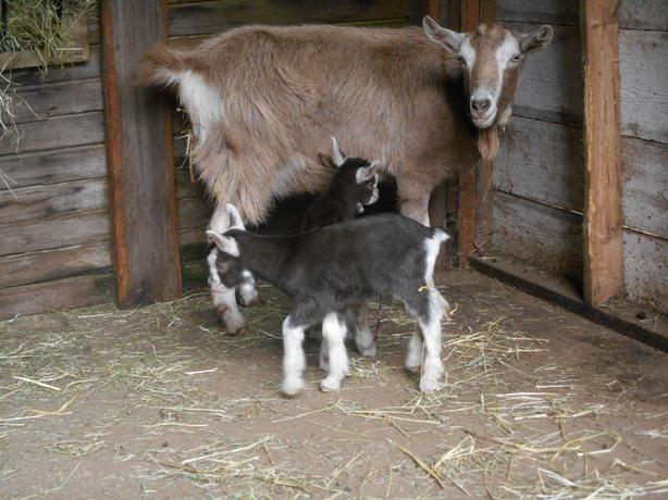 Purebred Twin Goats Toggenburg Does