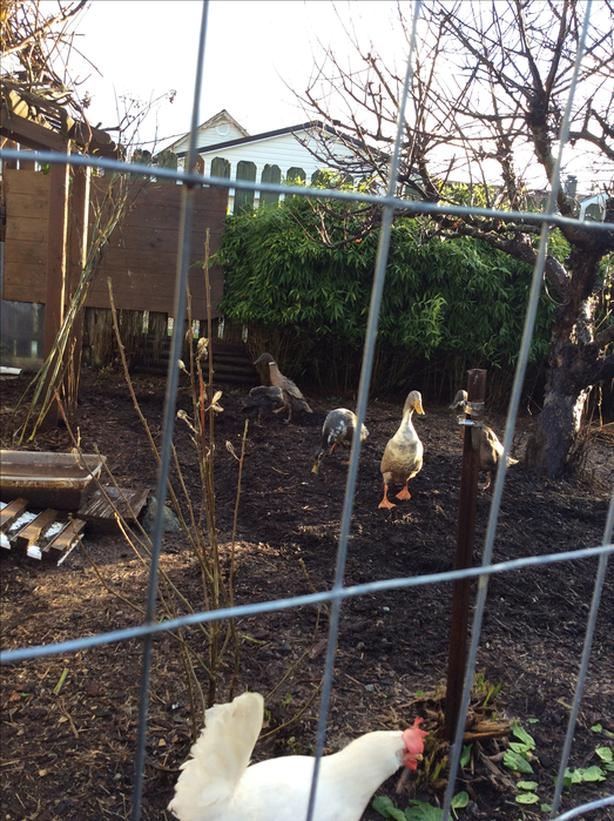 FREE: Indian Runner ducks