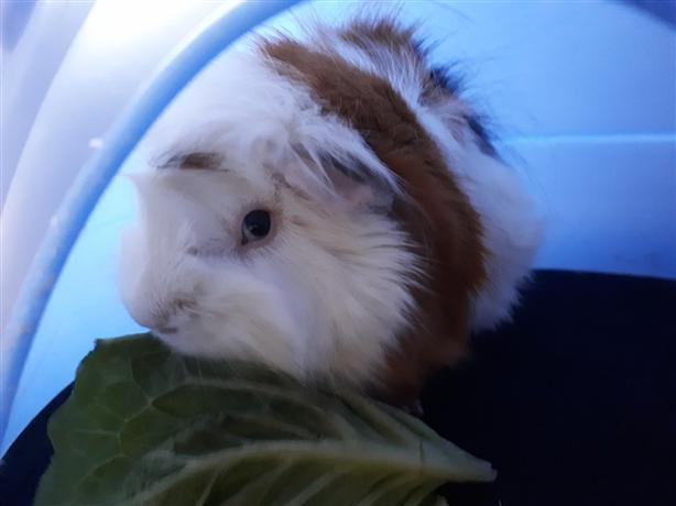 Emma *bonded To Bailey* - Guinea Pig Small Animal