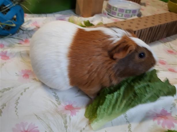 Baily*bonded To Emma* - Guinea Pig Small Animal