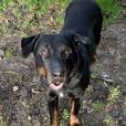 Hercules - Rottweiler Dog