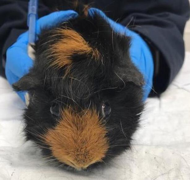 B4 - Guinea Pig Small Animal