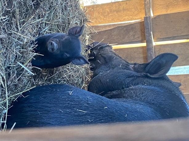 Piglets Ready to Go! From our farm to yours!