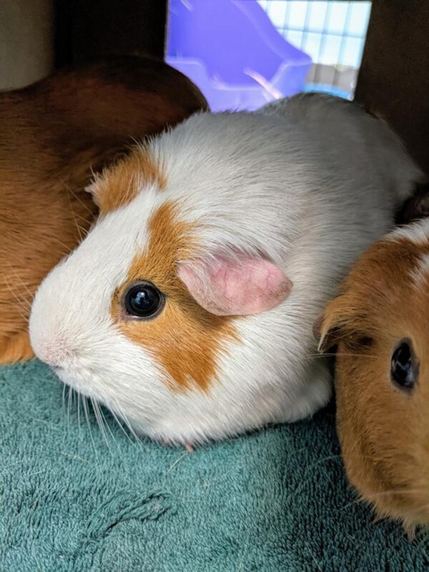 Penny - Guinea Pig Small Animal
