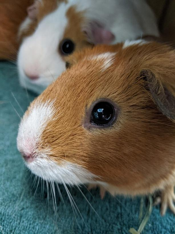 Pumpkin - Guinea Pig Small Animal