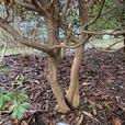Mature Garden Rhododendrons