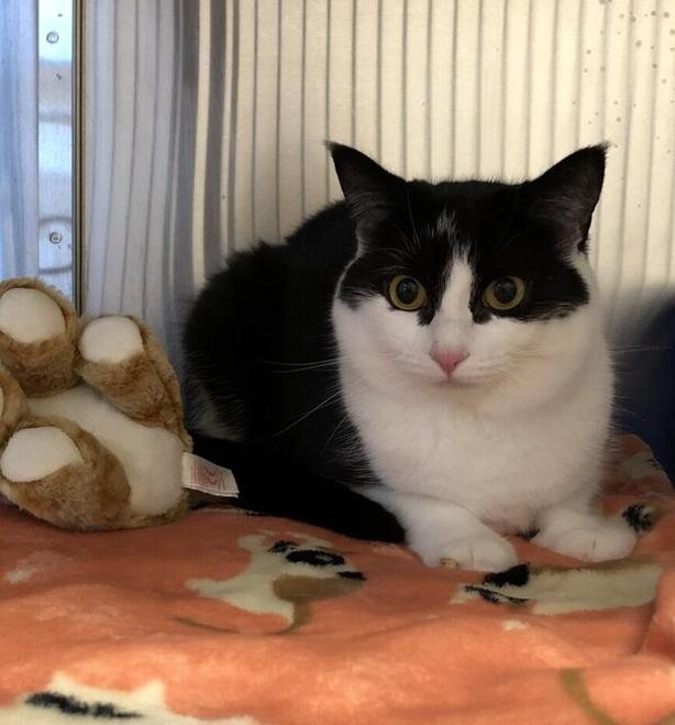 Lucy *adoption Pending* - Domestic Short Hair Cat