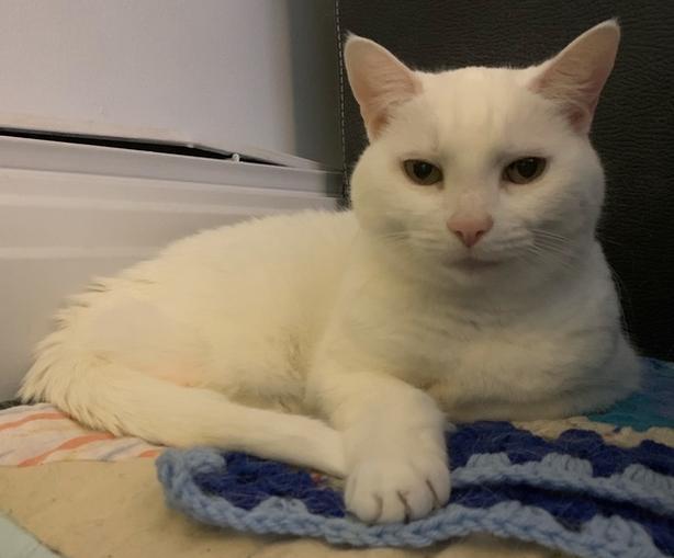 Betty White - Domestic Medium Hair Cat