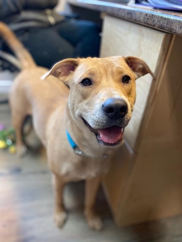 Chai - Pit Bull Terrier Dog
