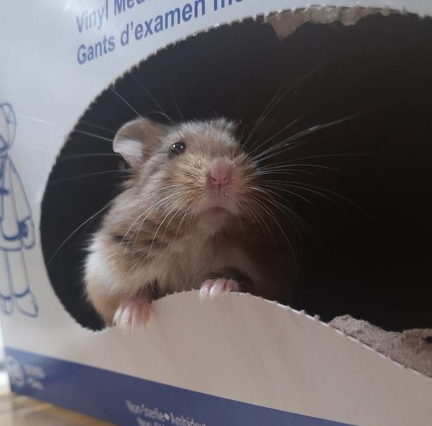 Puffy - Hamster Small Animal