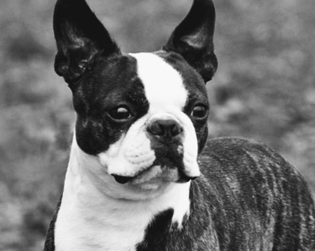 6yr old Female Boston Terrier