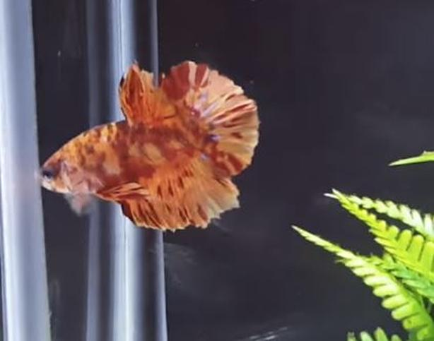 Bettas for new homes