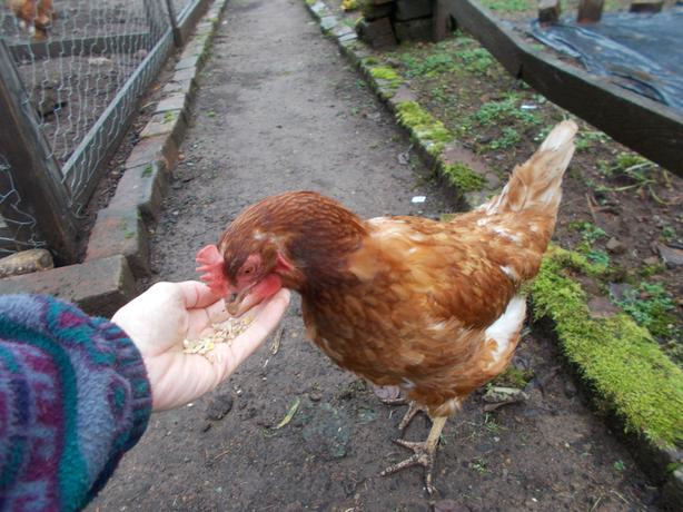 Two one year old laying hens