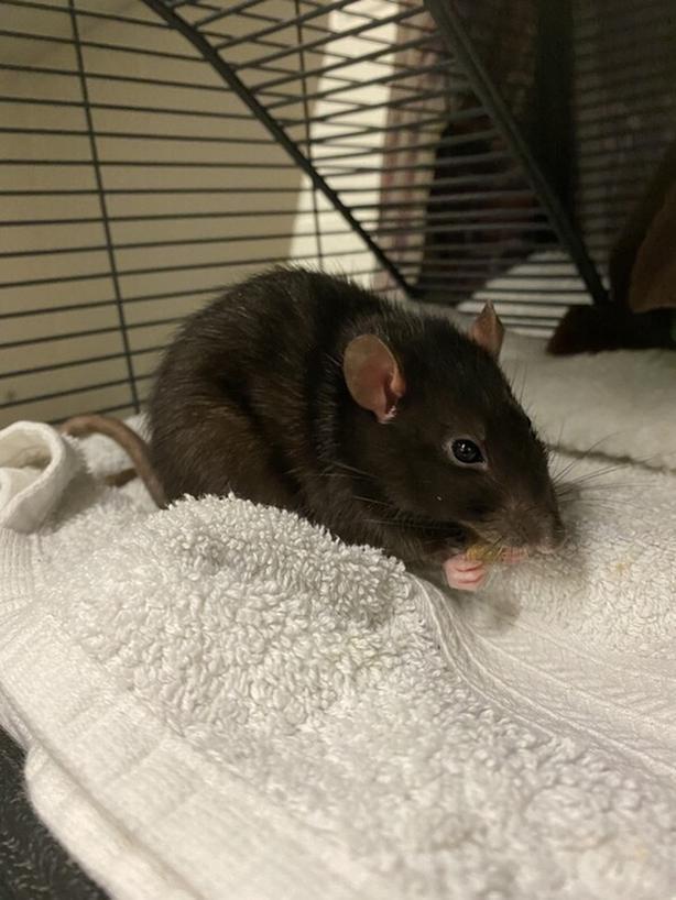 Ratticus - Rat Small Animal