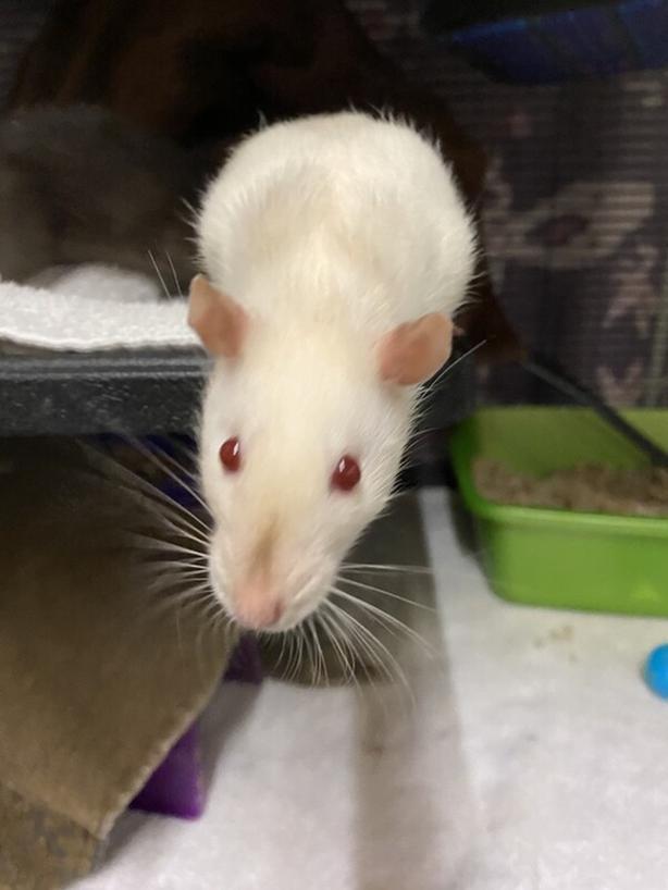 Clover - Rat Small Animal