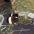Oreo - Guinea Pig Small Animal
