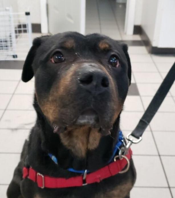Scarlett - Rottweiler Dog