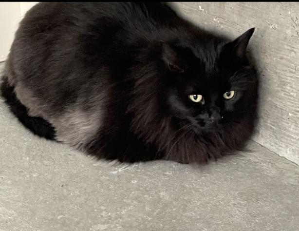 Tinkers - Domestic Longhair Cat