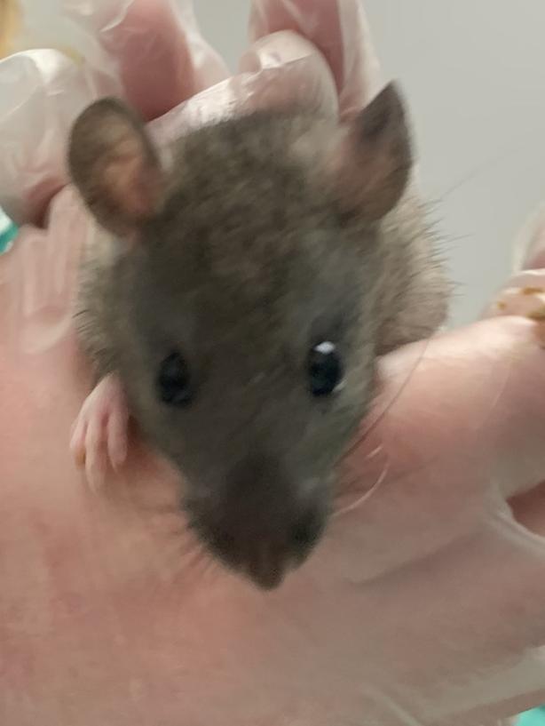 Ron - Rat Small Animal