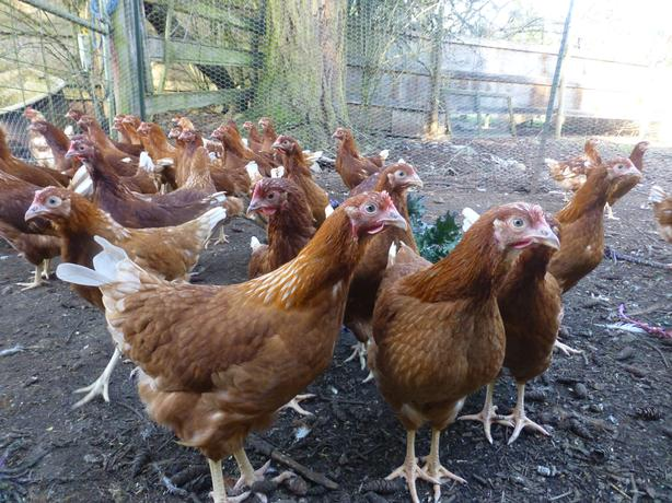 Young Point of Lay Hens