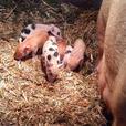weiner pigs