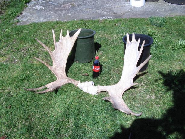 Antlers  - Moose