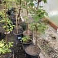 Organic 1 gallon raspberry plant