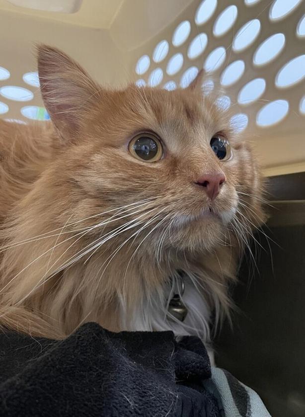 Rusty - Domestic Longhair Cat