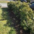 FREE: Rhododendron bushes