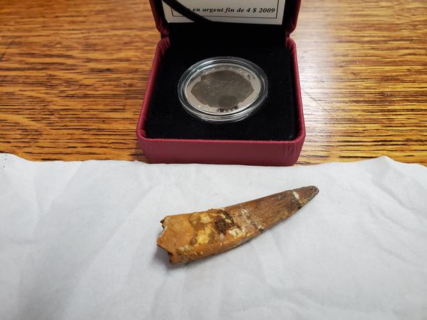 Dinosaur Fossil Coin and Tooth